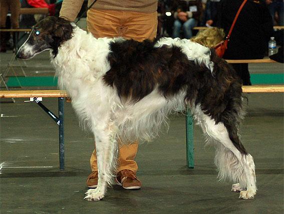 Borzois at Speciale Levriers Courtrai/B 15/11/14 Xanishka Borzoi